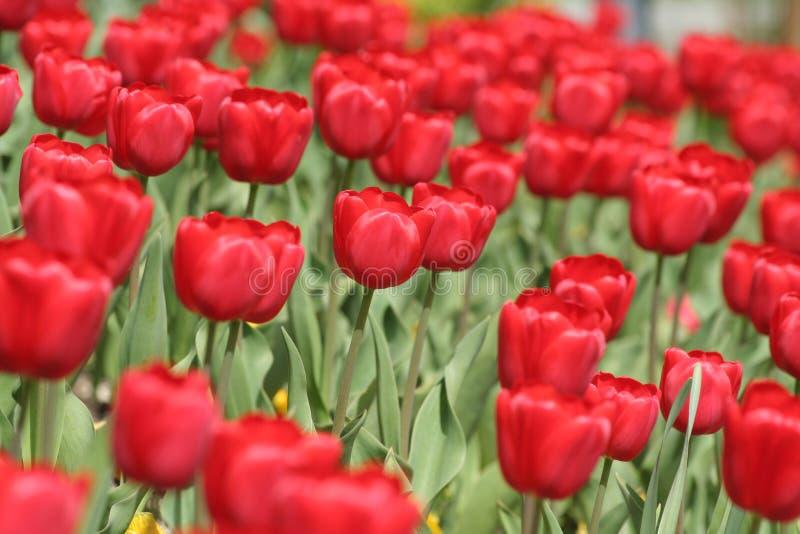 Download Tulipes rouges photo stock. Image du fleur, tulipes, lumineux - 725170