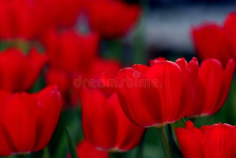 Download Tulipes rouges image stock. Image du jardin, rouge, endroit - 79585