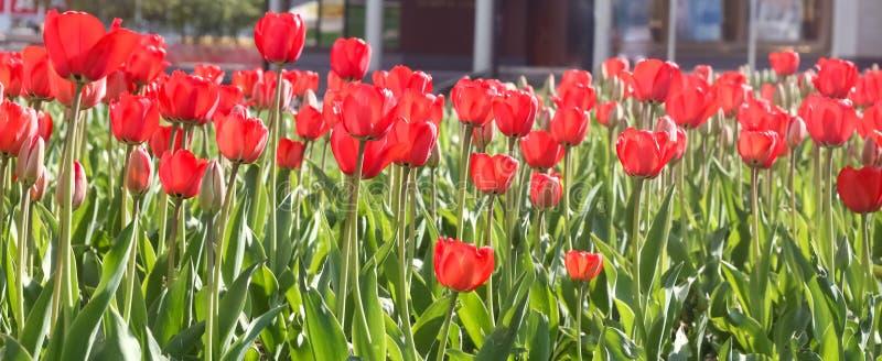 Tulipes rouges photos stock
