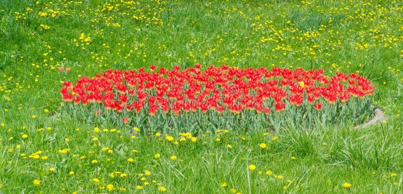 Tulipes rouges au milieu une herbe et pissenlits image libre de droits