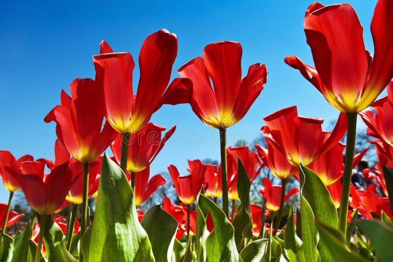 Tulipes rouges, ciel bleu photo stock