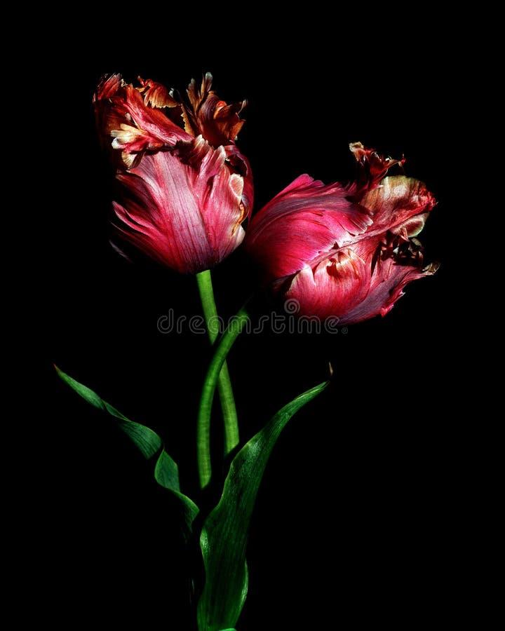 Tulipes rouges de perroquet sur un fond noir images stock