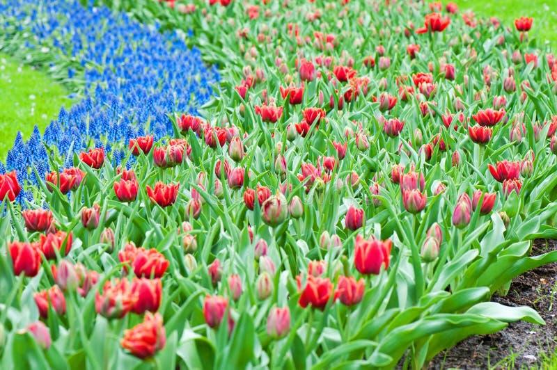 Tulipes rouges et jacinthe bleue image libre de droits