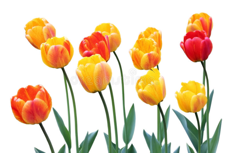 Tulipes rouges et jaunes photo stock