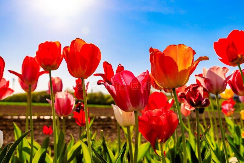 Tulipes rouges et jaunes au soleil sur un pré image stock
