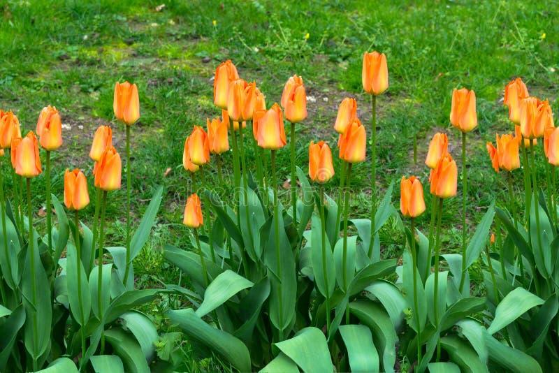 Tulipes rouges et oranges image libre de droits