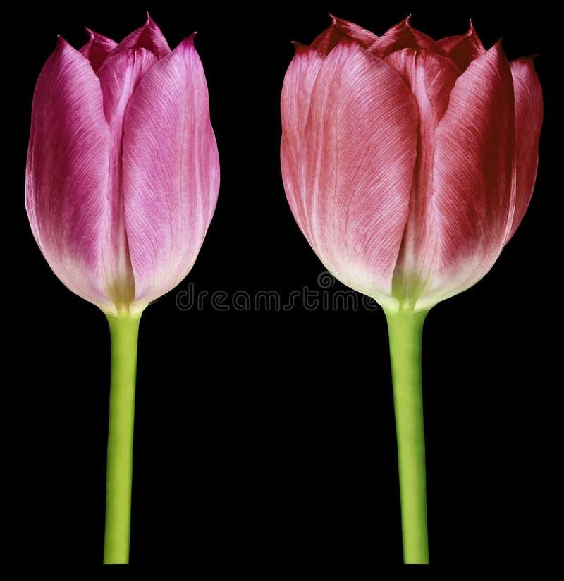 Tulipes rouges et roses Les fleurs sur un noir ont isolé le fond avec le chemin de coupure closeup Aucune ombres Bourgeons de tul image stock