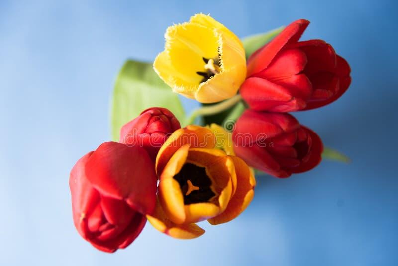 Tulipes rouges jaunes sur un fond bleu images libres de droits