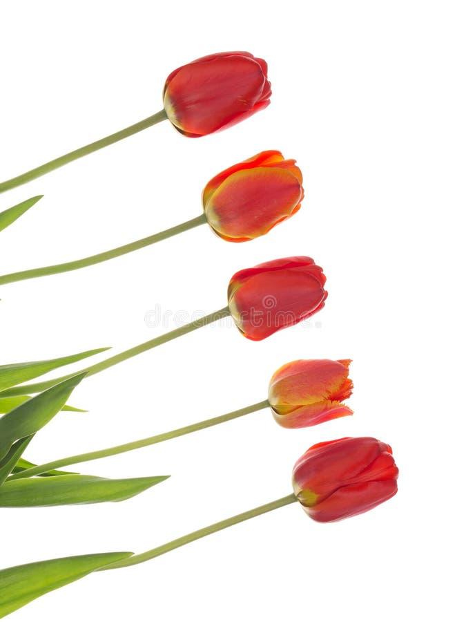 Tulipes rouges sur le diagonal, vertical photographie stock