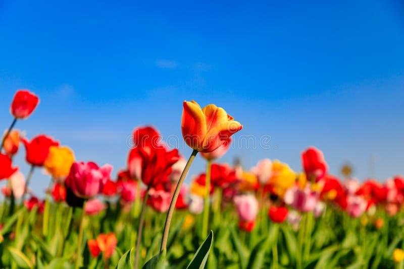Tulipes rouges sur un champ avec le ciel bleu et le soleil images libres de droits