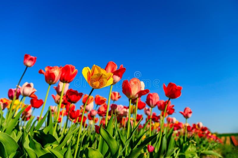 Tulipes rouges sur un champ avec le ciel bleu et le soleil image libre de droits