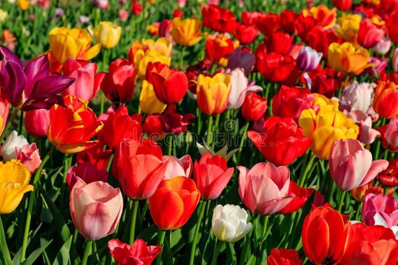Tulipes rouges sur un champ avec le ciel bleu et le soleil photo stock