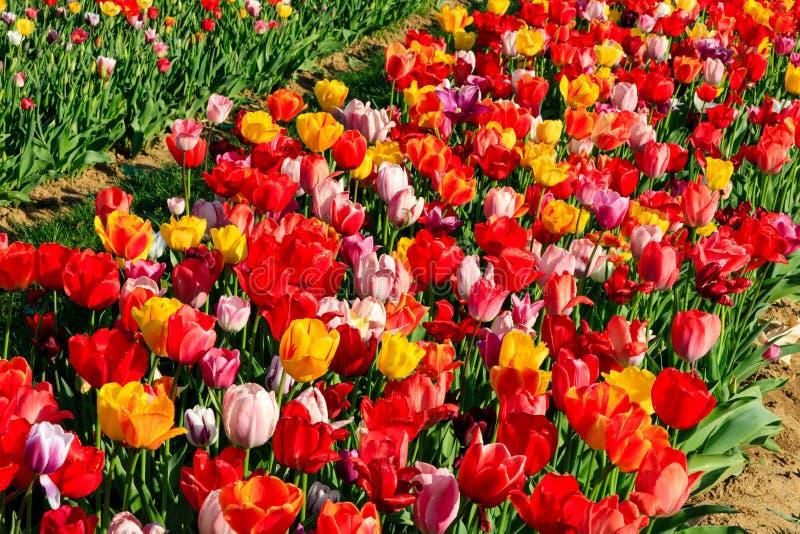 Tulipes rouges sur un champ avec le ciel bleu et le soleil image stock