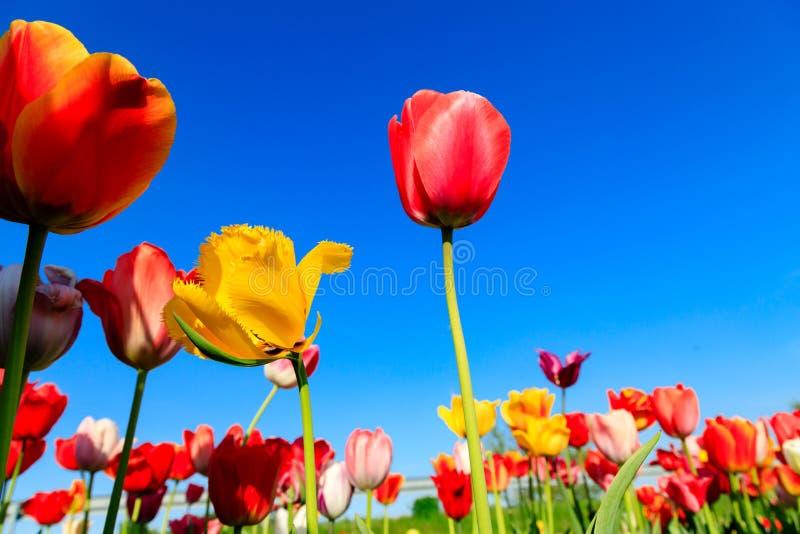 Tulipes rouges sur un champ avec le ciel bleu et le soleil photos libres de droits