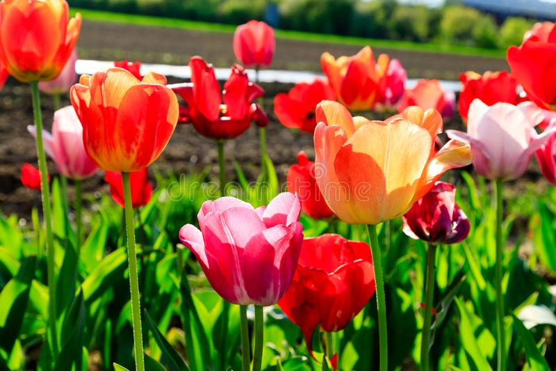 Tulipes rouges sur un champ avec le ciel bleu et le soleil photographie stock libre de droits
