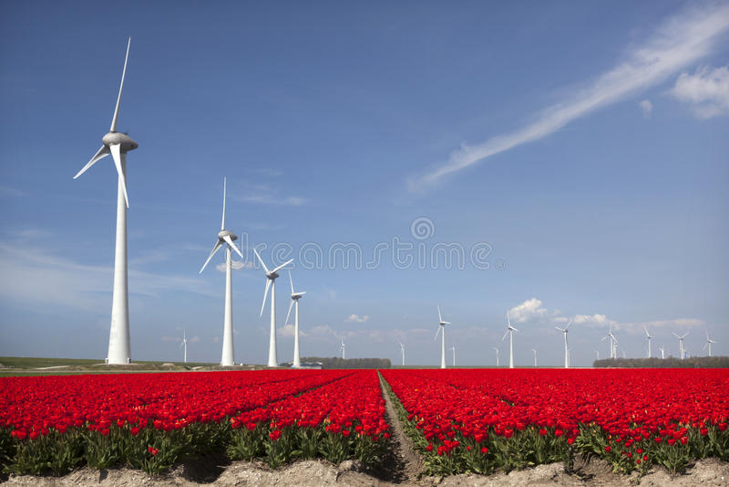 Tulipes rouges vives dans le domaine de fleur néerlandais de noordoostpolder avec le bleu images stock