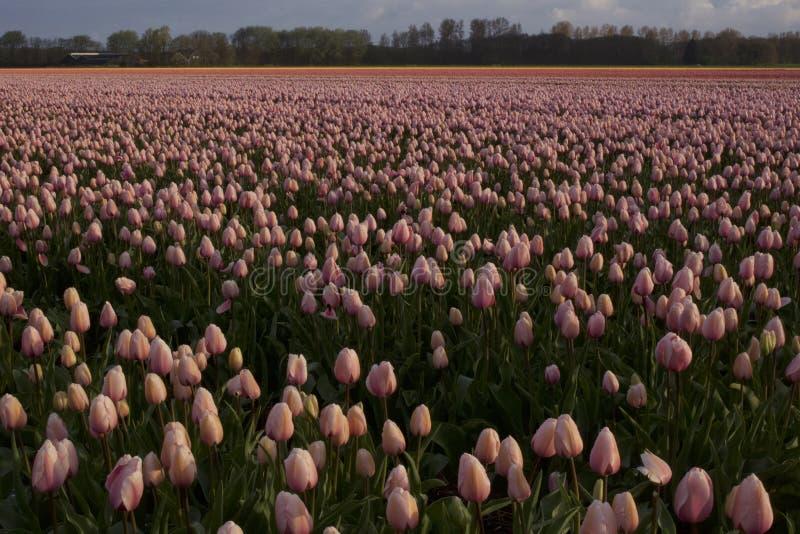 Tulipes sans fin photo stock