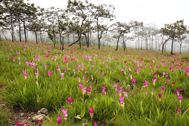 Tulipes sauvages du Siam fleurissant dans la jungle dans le phoom de Chaiya photographie stock