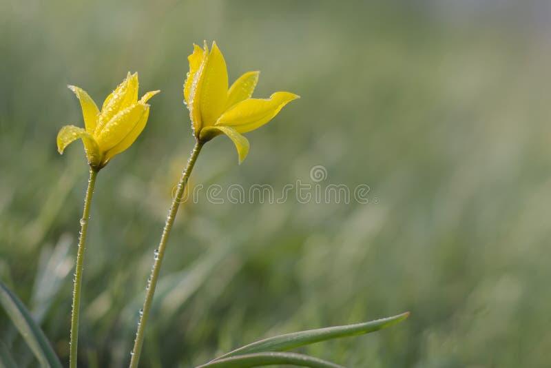 Tulipes sauvages jaunes dans le pré image libre de droits