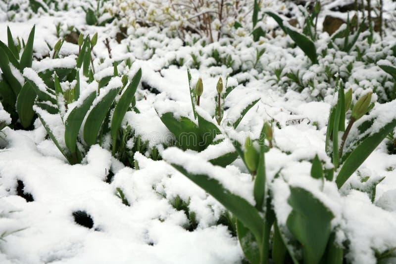 Tulipes sous la neige photographie stock