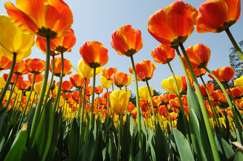 Tulipes sous le ciel bleu photos libres de droits
