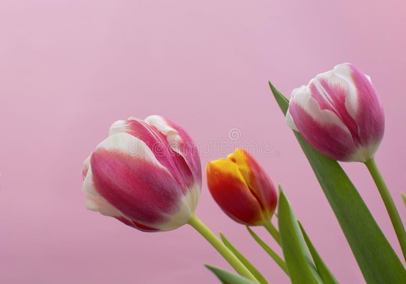 Tulipes sur le fond rose photo stock