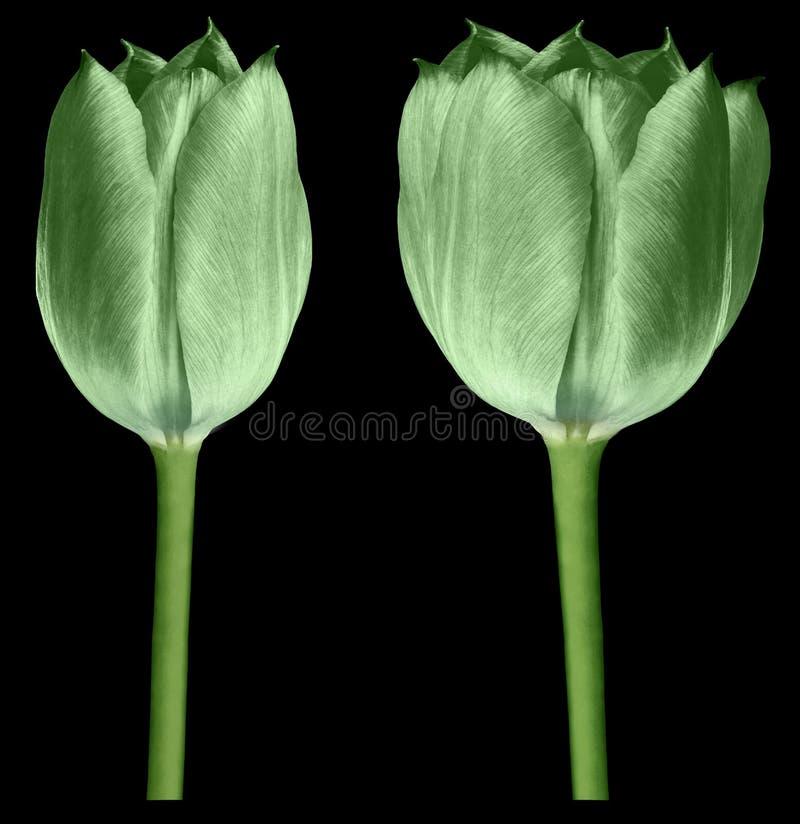 Tulipes vertes Les fleurs sur le noir ont isolé le fond avec le chemin de coupure closeup Aucune ombres Bourgeons de tulipes sur  photos stock