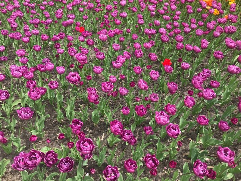 Tulipes violettes colorées Fond floral Plan rapproch? photos stock