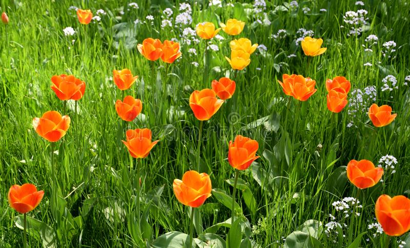 Tulipfield in bloom, beautiful yellow and orange tulips royalty free stock photos