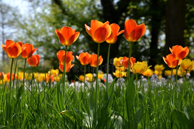 Tulipfield in bloom, beautiful yellow and red tulips on spring stock photo