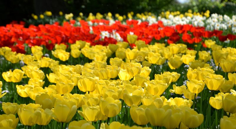 Tulipfield in bloom, beautiful yellow, red and white tulips stock image