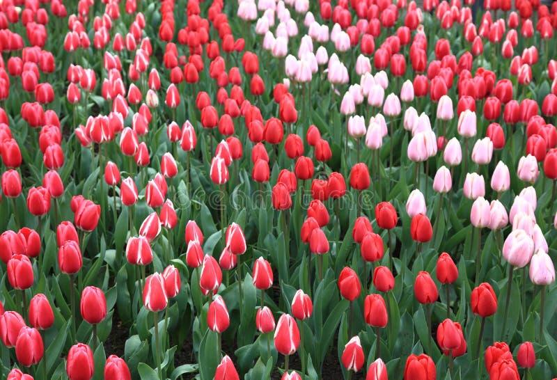 Tulipfield 2 en el parque Keukenhof Lisse Países Bajos imagenes de archivo