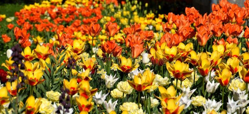 Tulipfield en la floración, floración anaranjada y amarilla hermosa de los tulipanes fotografía de archivo libre de regalías
