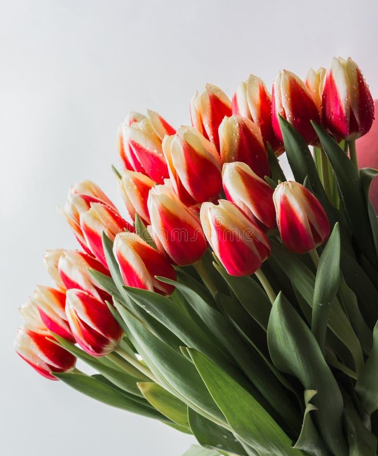 Tulipls 4 免版税库存图片