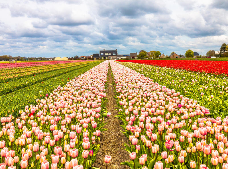 Tulipography Lisse Noordwijk Netherlands Tulip. Taking pictures from beautiful tulip farms in the Netherlands stock photos