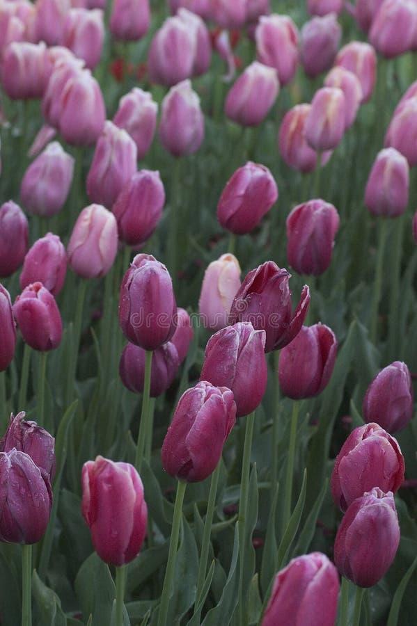 Download Tulips 02 stock photo. Image of grow, flower, tulip, green - 30522