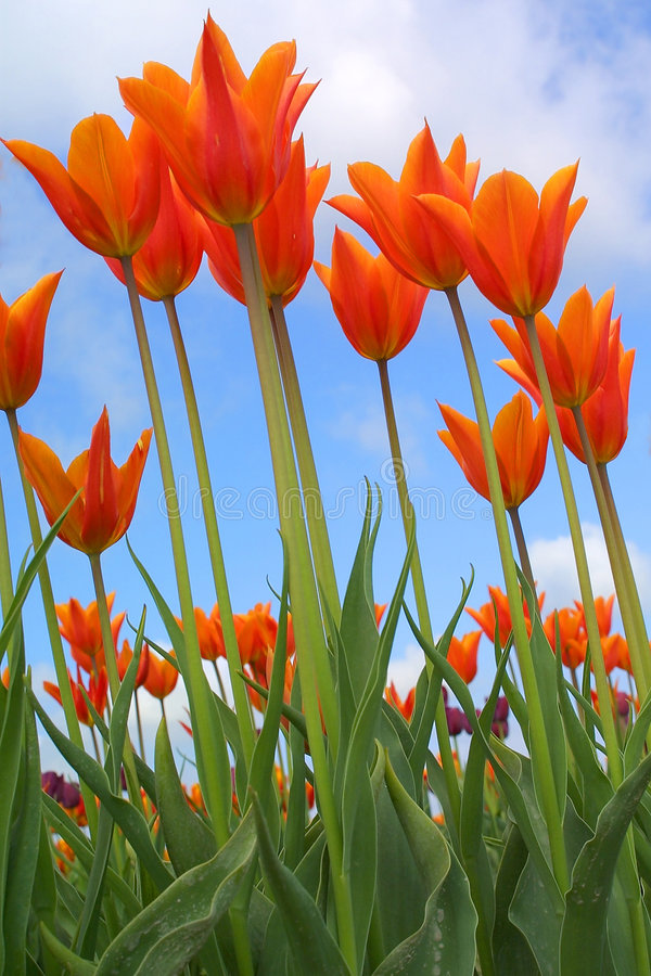 Free Tulips Royalty Free Stock Image - 2186