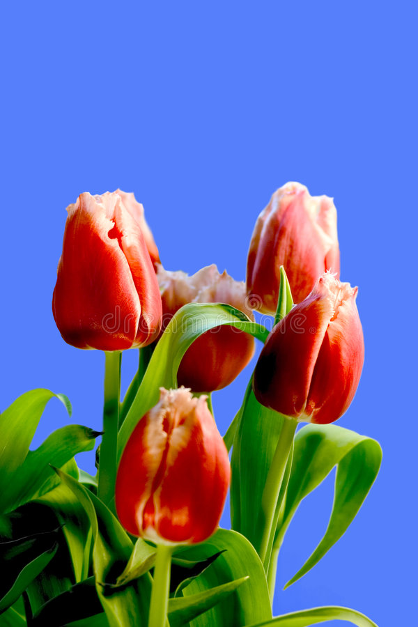 Download Tulips foto de stock. Imagem de sobre, nave, perennial - 110294