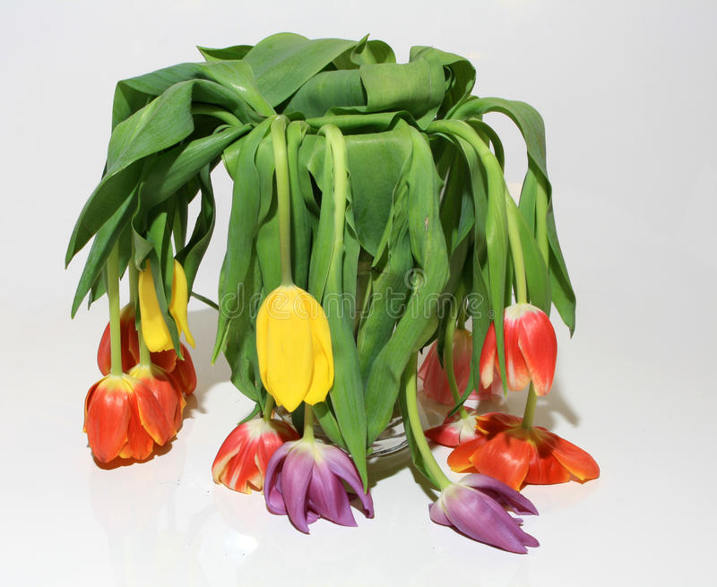 Tulips. That died because of lack of water stock photography