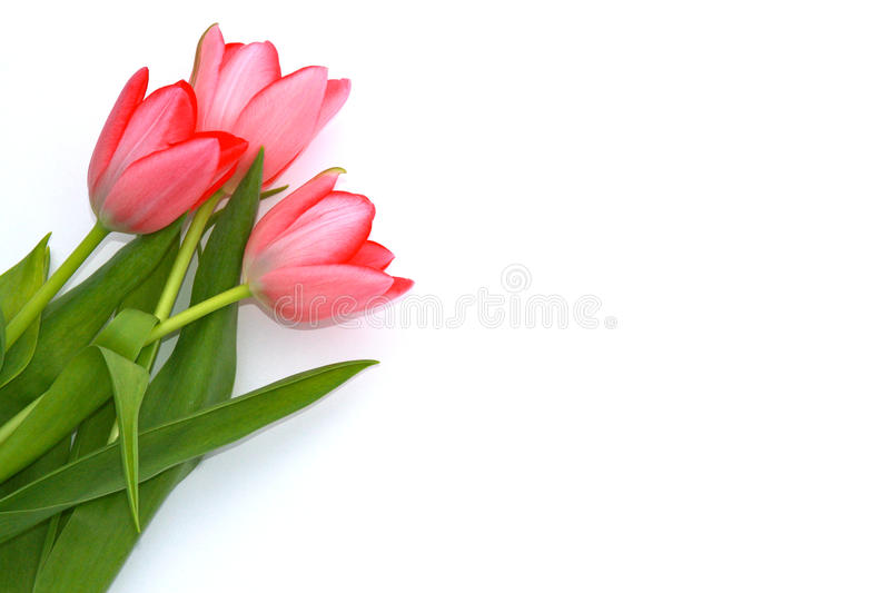 Tulips. Three pink tulips isolated on a white background with a blank space on the right for copy