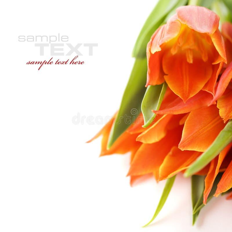 Tulips stock photos