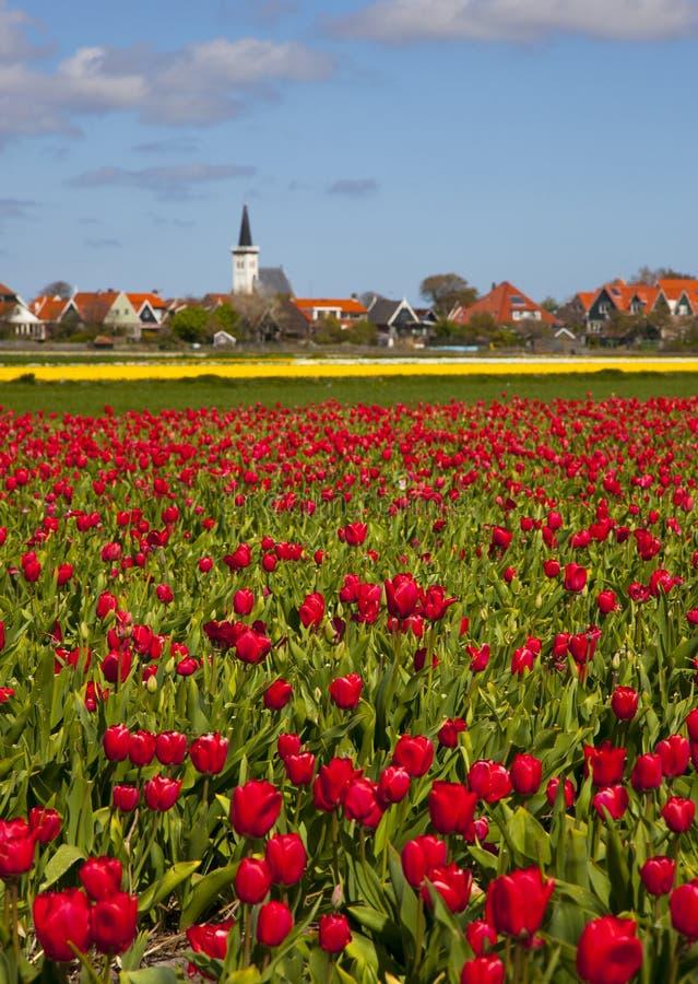 Free Tulips Stock Photography - 14206842