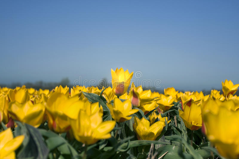 Download Tulips Stock Photography - Image: 14291402