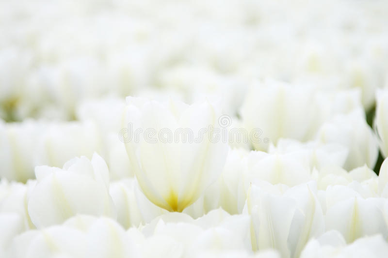 Download Tulips stock photo. Image of angle, bloom, flower, nature - 14291438
