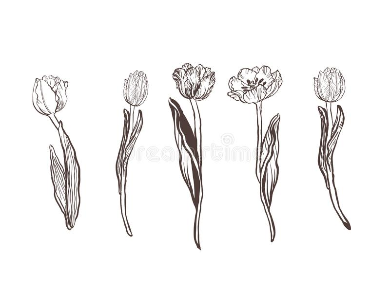 Collection of hand drawn graphic tulips. Floral clip art elements. Branches, leaves and buds. royalty free illustration
