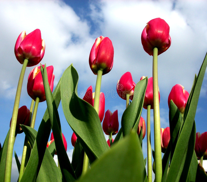 Download Tulips 16 imagem de stock. Imagem de jardinar, nave, foliage - 200541