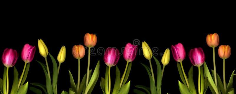 Peach Orange And Yellow Tulips In Bloom Stock Photo