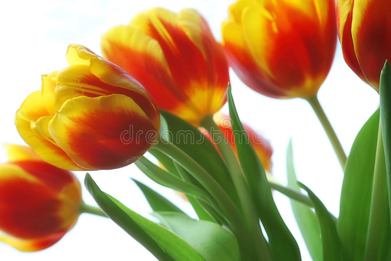Tulips. A bouquet of tulips on white background stock photo