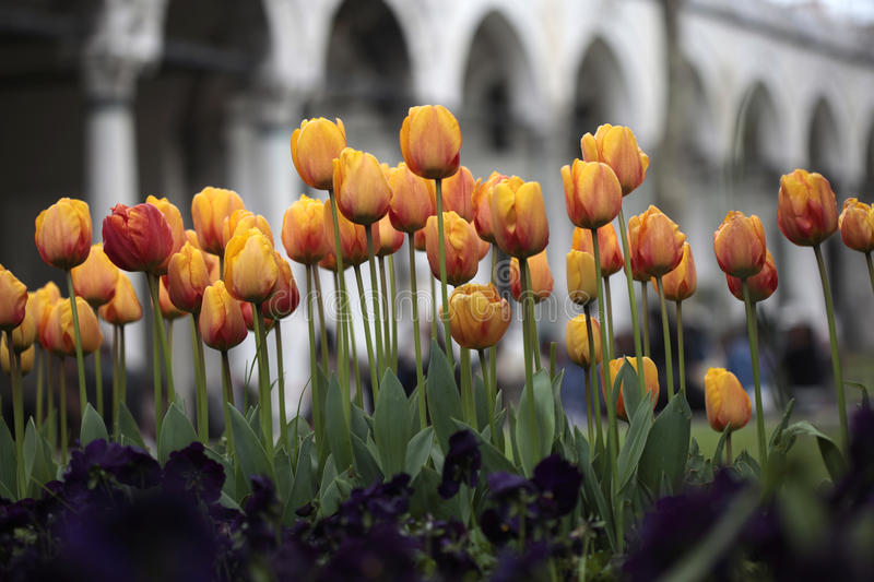 Download Tulips stock image. Image of istanbul, green, effect - 20113481