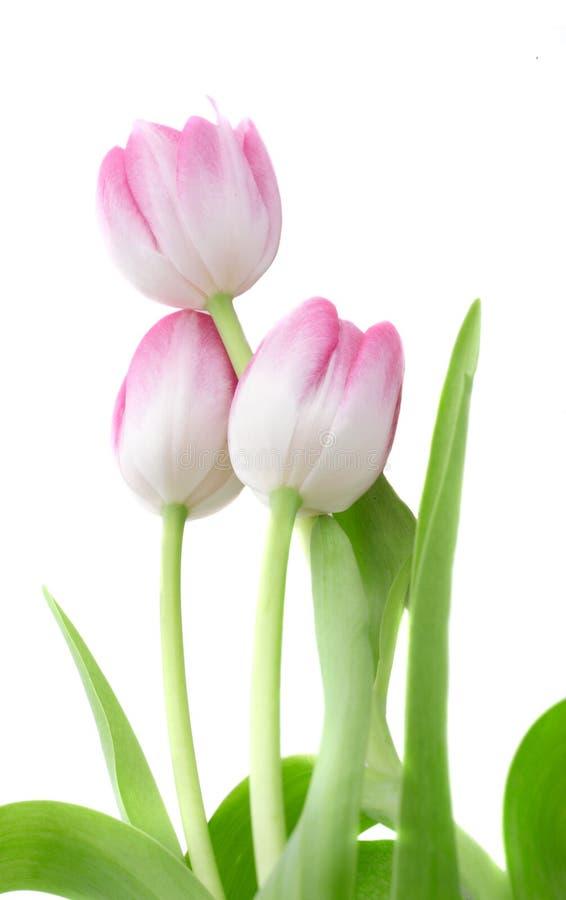 Free Tulips Stock Photos - 2016953